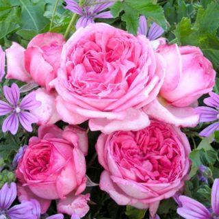 バラで美意識の芽を育てよう!<br>~月星座やぎ座のあなたにおすすめのバラ~