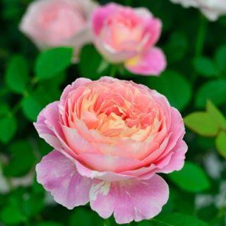 バラで美意識の芽を育てよう!<br> ~月星座てんびん座の特性とおすすめのバラ~