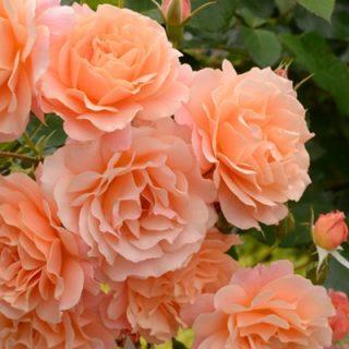 バラで美意識の芽を育てよう!<br>~月星座かに座の特性とおすすめのバラ~