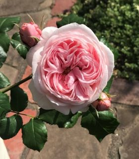 バラで美意識の芽を育てよう!~月星座おうし座の特性とおすすめのバラ~