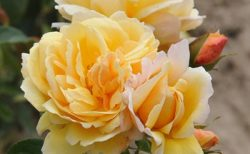 バラで美意識の芽を育てよう!<br>~月星座ふたご座の特性とおすすめのバラ~