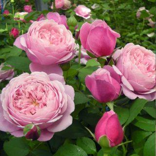 バラで美意識の芽を育てよう!<br>~月星座しし座の特性とおすすめのバラ~