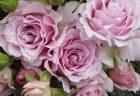 バラで美意識の芽を育てよう!<br>~月星座さそり座の特性とおすすめのバラ~