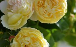 バラで美意識の芽を育てよう!<br>~月星座いて座の特性とおすすめのバラ~