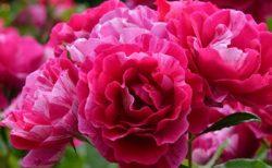 バラで美意識の芽を育てよう!~月星座おひつじ座の特性とおすすめのバラ~