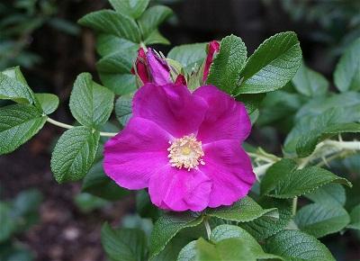 バラで美意識の芽を育てよう!<br>~月星座おとめ座の特性とおすすめのバラ~