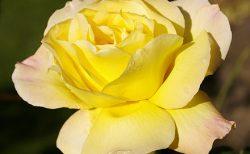 バラで美意識の芽を育てよう!~月星座うお座の特性とおすすめのバラ~