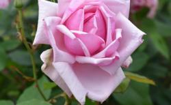 バラで美意識の芽を育てよう!~月星座みずがめ座の特性とおすすめのバラ~